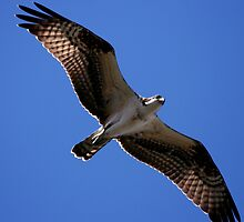 Osprey Flying Overhead by DARRIN ALDRIDGE