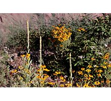 Mulleins And Black Eyed Susan Photographic Print