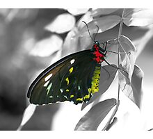 Black Butterfly On Black And White Photographic Print