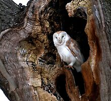 Barn Owl in tree hollow by davejw