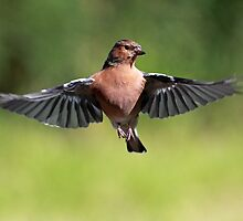 Chaffinch by Photo Scotland