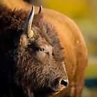 American Bison in the Fall by Wil Bloodworth