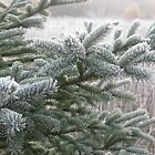 Frosty Pine by Christopher Clark