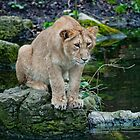 Young Lioness Hunting Ducks by Bel Menpes