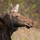Cow Moose Portrait by Stephen Stephen
