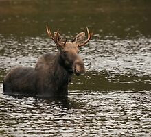 Wading Bull Moose by Stephen Stephen
