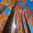 Yellow to Red: Aspens in Fall by Clayhaus