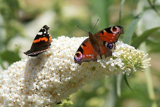 Butterfly Dancers ~ On White Buddliah ~ by Sandra Cockayne