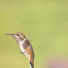 Rufous Humming bird. by Rosemaree