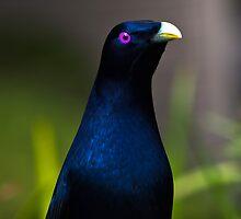 Australian Male Satin Bower Bird 1 by David Woolcock