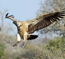 White-backed vulture landing by jozi1