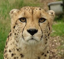 Memphisto - Cheeta at the Wildlife Heritage Foundation in Kent by claireandcoco