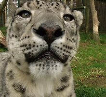Nose to nose with a Snow Leopard  by claireandcoco