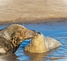 The Grey Seal 	  Halichoerus grypus by Elaine123
