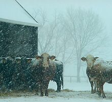 Cows In The Early Morning Snow by Shannon Guest
