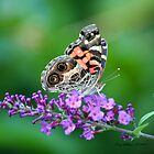 American Lady Butterfly by Terry Aldhizer