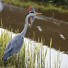 Heron in the Netherlands by Christa Knijff