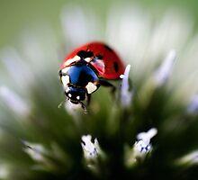 Ladybug & Echinops by ncamarillo