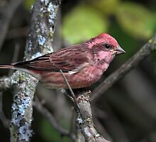 In The Pink / Purple Finch by Gary Fairhead