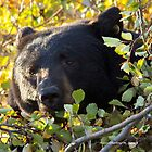 BLACK BEAR PEAKING OUT OF THE TREE by Charlene Aycock