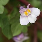 Cute native violet flower by Melani