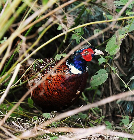 The evasive pheasant by Alan Mattison