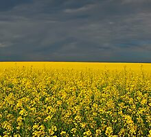 Storm Over Canola by bazcelt