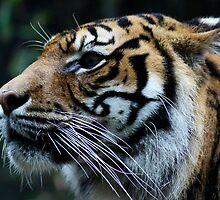 Eye of the Tiger by TMphotography