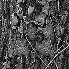 Ivy leaves -Hiedra- by Rafael López