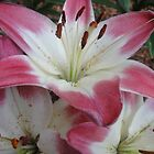 Pink Lilies by Danielle Gill