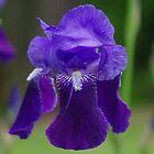Purple Iris by Karen Checca