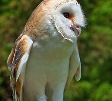 Barn Owl by Susie Peek