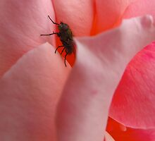 A fly in the pinkest of ointments by MarianBendeth