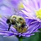 Bumble Bee - Fall Aster by T.J. Martin