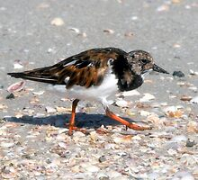 Ruddy Turnstone by David Lee Thompson