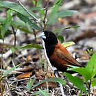 black headed or chesnut munia (Lonchura atricapilla) by Grandalf