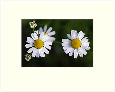 daisy days II by Clare Colins
