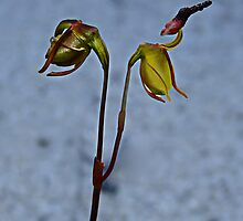Flying Duck Orchid, Open & Closed by Julia Harwood