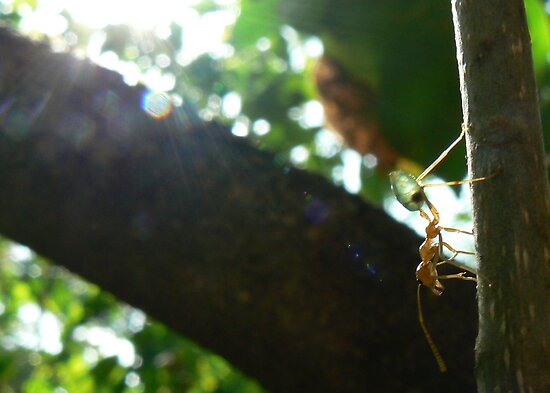 Green ant in the light by Thomo