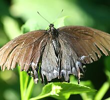 Tattered Butterfly by Terry Aldhizer