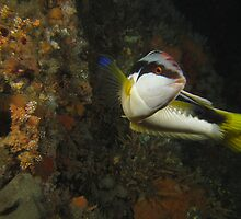 Halifax Comb Wrasse by Matt-Dowse