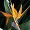 Bird of Paradise by Don Wright