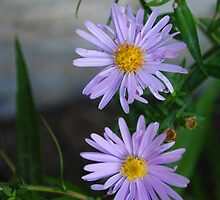 Tiny Asters by goddarb