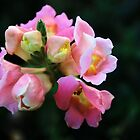 Antirrhinum by JEZ22