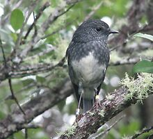 North Island Robin by Neil Crittenden