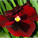 PANSY&#x27;S LIKE VELVET AND AS RED AS WINE by Magaret Meintjes