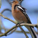 Male Chaffinch by Alexa Pereira