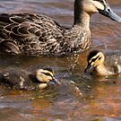 Little Ducklings ... Pacific Black Duck by mosaicavenues