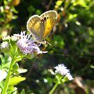 Butterfly ~ Dainty Sulfer by Kimberly Chadwick