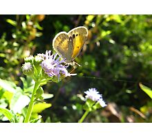 Butterfly ~ Dainty Sulfer Photographic Print